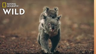 Download Koalas 101   Nat Geo Wild Video