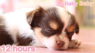 Download ☆ 12 HOURS ☆ Puppy Sleeping Music ♫ LULLABIES ☆ Peaceful sleep music for dogs, pets, babies Video