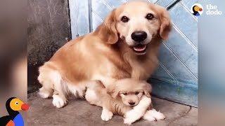Download Protective Dog Dad Won't Let Anyone Near His Puppy | The Dodo Video