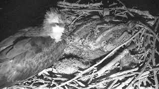 Download Osprey Nest - Chesapeake Conservancy Cam 06-17-2018 18:38:37 - 19:23:25 Video