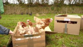 Download Ex-battery hens see grass for the 1st time! Video