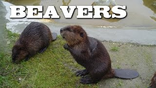 Download All About Beavers for Children: Animal Videos for Kids - FreeSchool Video