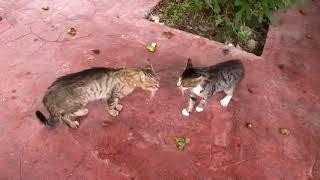 Download 猫のマジ喧嘩を仲裁したら懐かれてついて来るまでに!周りの猫も止めてと鳴く Video
