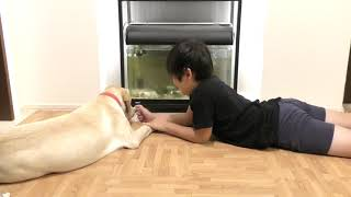 Download 我が家にきて5ヵ月になると こんなに大きくなる ラブラドールレトリーバー 子犬 / Labrador retriever チャピーの成長日記 #19 Video