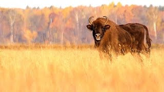 Download European Bisons in autumn. Bison bonasus. Video