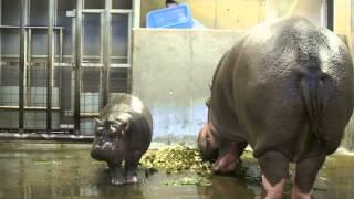 Download 神戸市立王子動物園 カバの赤ちゃん出目吉くんとナミコママ 2014.11.17 Video