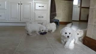 Download Bichon Puppies For Sale Ivan Beiler Video