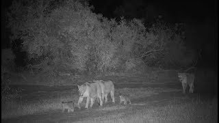 Download Djuma: Lion-Nkuhumas with two small cubs-Pt:1 - 23:40 - 07/27/19 Video