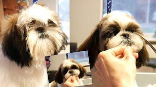 Download Grooming Shih Tzu Puppy by PetGroooming Video