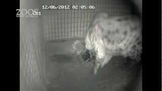 Download Spotted Hyena, Kigali, gives birth at Monarto Zoo. Video