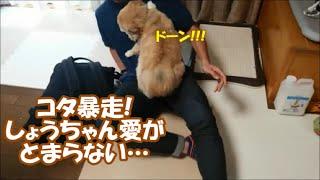 Download すぐキレるポメラニアン77 お盆にしょうちゃんが帰ってきた!! Video