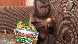 Download Capuchin Monkey Tells You How Much He LOVES His Snack! Video