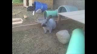 Download Champagne D'Argent & Silver Fox Rabbits Video