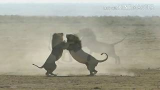 Download Epic 2 Male lions fighting to death (Aug 2017) Video