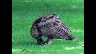 Download Eagle owl-Uhu Junges- Beutetier Igel Video