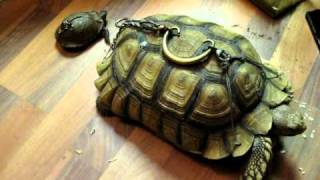Download The Reptile Guy- Turtle and Tortoise ″drilled and tied up″ Video