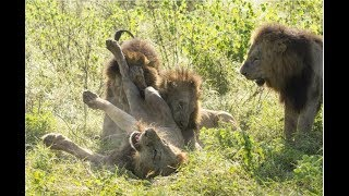 Download 4 Male lions Vs 1 Male lion (KNP-may 2017) Video