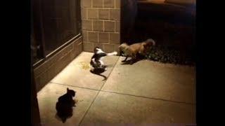 Download Fox vs. Cat Video