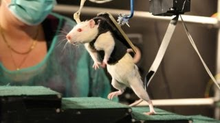 Download Paralysed Rats Made To Walk Again Video