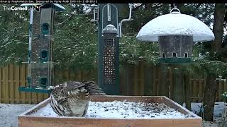 Download Ruffed Grouse Soaks Up Camera Time On Snowy Platform Feeder – Oct. 12, 2018 Video