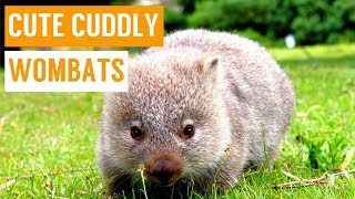 Download Cuddly Baby Wombat Compilation Video