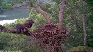 Download 6/23/17..Dale Hollow Eagle Cam - 6:45am Both Fly In Video