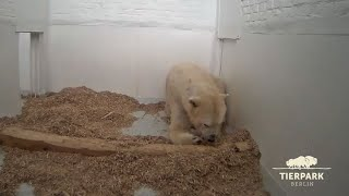 Download Polar Bear Cub At Berlin Zoo Opens Its Eyes Video