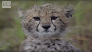 Download Cute Cheetahs Learn To Hunt!   Amazing Animal Babies   Earth Lab Video