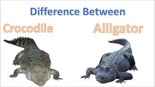Download Difference between Crocodile and Alligator | Alligator Vs Crocodile Video