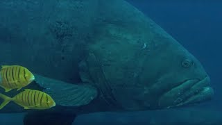 Download Deadly Predators of the Reef: the Queensland Grouper and the Sea Snake | BBC Earth Video