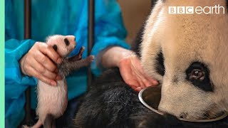 Download Panda Doesn't Realise She's Had Twins!   BBC Earth Video