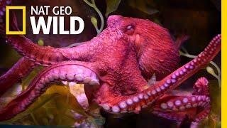Download Octopuses 101 | Nat Geo Wild Video