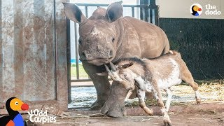 Download Baby Rhino Grows Up With Goat Best Friend | The Dodo Odd Couples Video