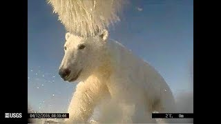 Download Polar Bears Film Their Own Sea Ice World Video