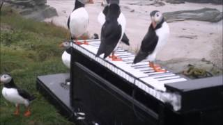 Download Puffin Pianists - Experiment #1 Video