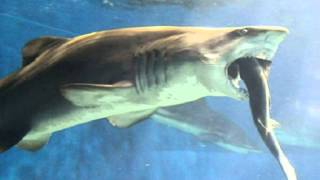 Download Japanese aquarium staff horrified by shark that went cannibalistic Video