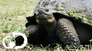 Download The Biggest Tortoise In the World | Big Pacific Video