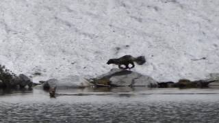 Download Rare sighting of wolverine hunting in Montana Video