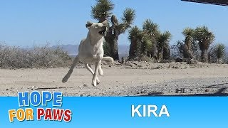 Download Labrador Retriever abandoned in the desert and was too scared to let us help her. Video
