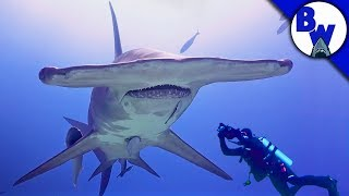 Download MASSIVE Hammerhead Shark Filmed in Bahamas! Video