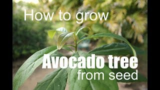 Download HOW TO GROW AVOCADO TREE FROM SEED. Video