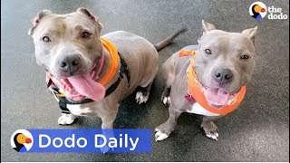 Download Adopted Pit Bulls Found Neglected Reunite | Best Animal Videos: The Dodo Daily Video