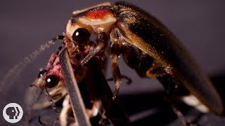 Download So ... Sometimes Fireflies Eat Other Fireflies | Deep Look Video