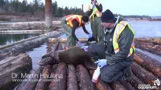 Download People free sea lion entangled in garbage Video