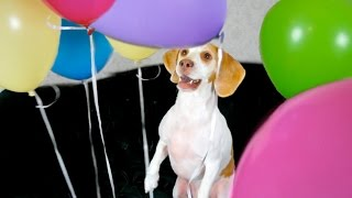 Download Dog Surprised with Balloons: Cute Dog Maymo Video