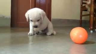 Download Cute Labrador Retriever puppy playing Video