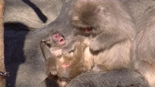 Download Rage baby monkey. Cute animal Video