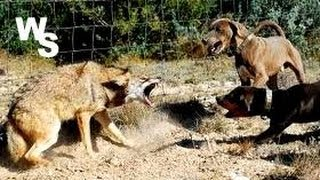 Download Coyote Attacks Dogs I Shoot With Glock 26 Video