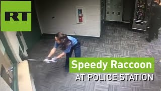Download COPS struggle to catch SPEEDY RACCOON at police station Video