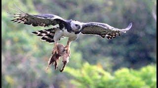 Download Cet oiseau tue et mange des singes - ZAPPING SAUVAGE Video